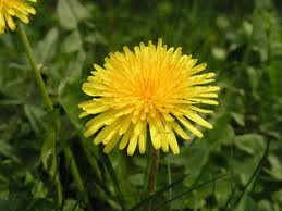 Dandelion - needs no introduction.
